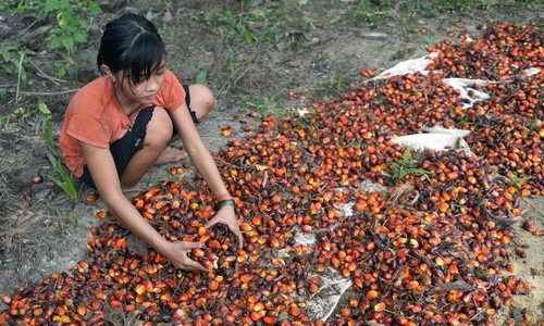 Palm oil watchdog urged to take 'giant leap' to save forests