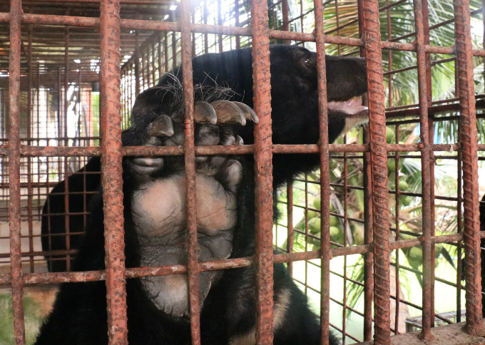 Kim, one of the five rescued moon bears, is held in an iron cage before activitists came to rescue.