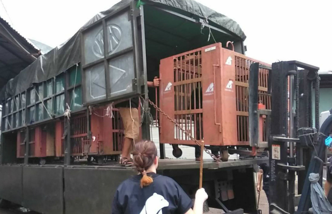 The bears are transported to a sanctuary in the northern province of Vinh Phuc to receive treatment from caretakers and veterinarians for several weeks before being released into a semi-natural environment at the sanctuary.
