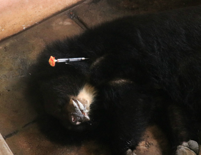 Doctors use a blowpipe to shoot a tranquilizer into one of the bears before taking it outside