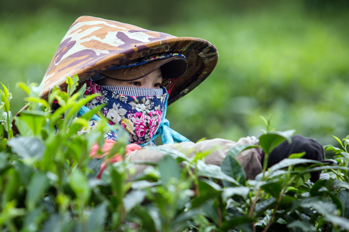 Its that time of the year: Tea harvest season on Central Highland farm - 3