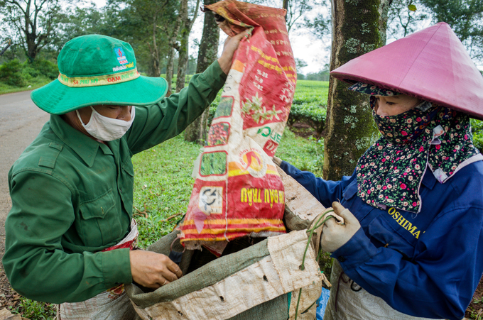 Its that time of the year: Tea harvest season on Central Highland farm - 6