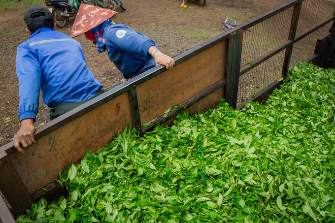 Its that time of the year: Tea harvest season on Central Highland farm - 9