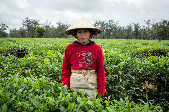 Its that time of the year: Tea harvest season on Central Highland farm - 1