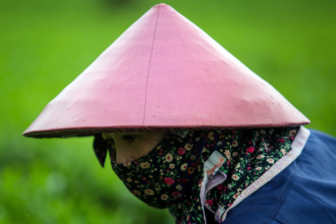Its that time of the year: Tea harvest season on Central Highland farm - 5