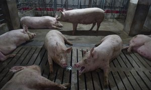 UN emergency talks to head off swine fever spread in Asia