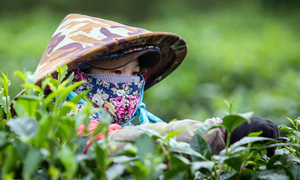 It's harvest time at an old Vietnamese tea garden