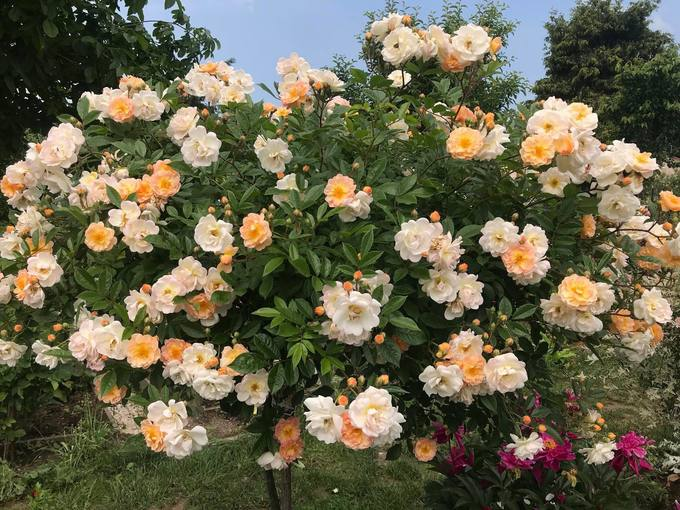 Some of the roses she planted grew up to the size of a bowl. Photo courtesy of Vu Thanh Huyen.