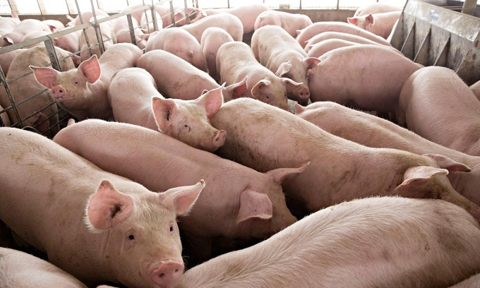 Vietnam says no to pork from countries with African swine fever