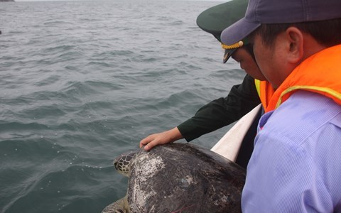 12 endangered turtles released from captivity in Phu Quoc