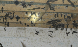 Swifts feather the nest of a woman in southern Vietnam