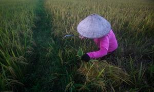India rice prices recover; low Thai rates dampen Vietnamese offers