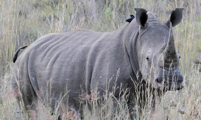 South Africa rhino poaching drops sharply but hundreds still being killed