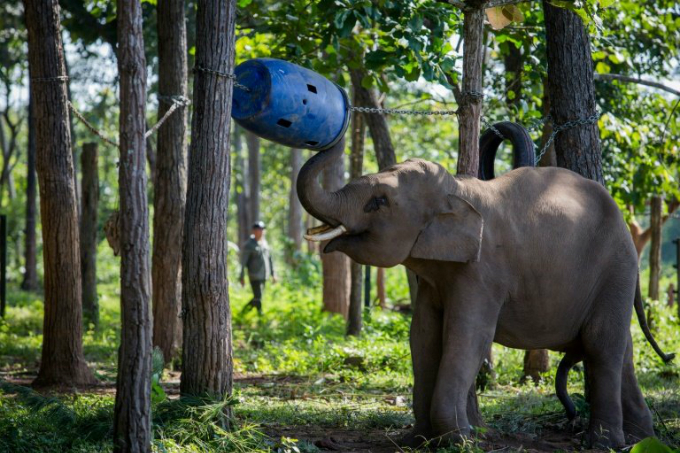Vietnam is home to just 80 elephants left in captivity and about 100 in the wild. Photo by AFP/Thanh Nguyen