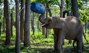 Fad for 'lucky' tail hair threatens Vietnam elephants