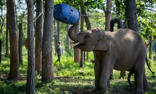 Fad for 'lucky' tail hair threatens Vietnam elephants
