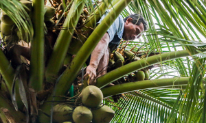 Blind man climbs coconut trees to support his family