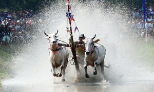 Farmers as strong as bulls race oxen in Khmer fest