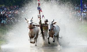Farmers as strong as bulls race oxen in Khmer fest