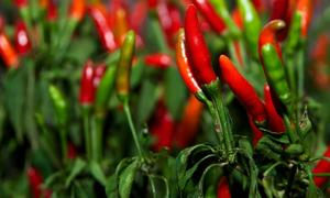 Malaysia suspends chili import from Vietnam due to pesticide residues