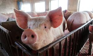 African swine fever hits China farm with 20,000 pigs as risks rise