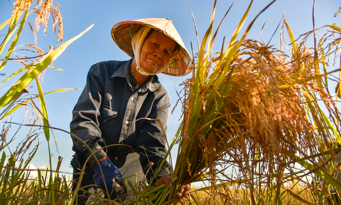 Vietnam may recall re-export order of wheat containing thistle seed: govt