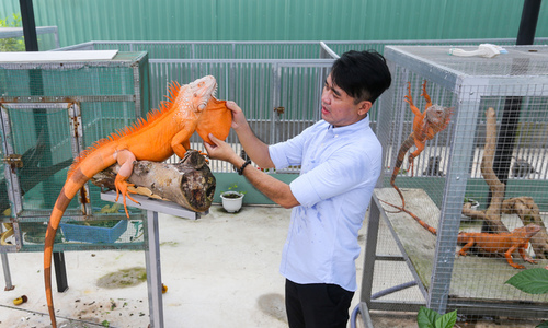 'Mr. Lizard' in Saigon sells iguanas as a hobby