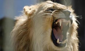Vietnamese man arrested with lion, warthog body parts at Kenyan airport