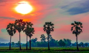 ​The palm that sweetens life in Mekong Delta province