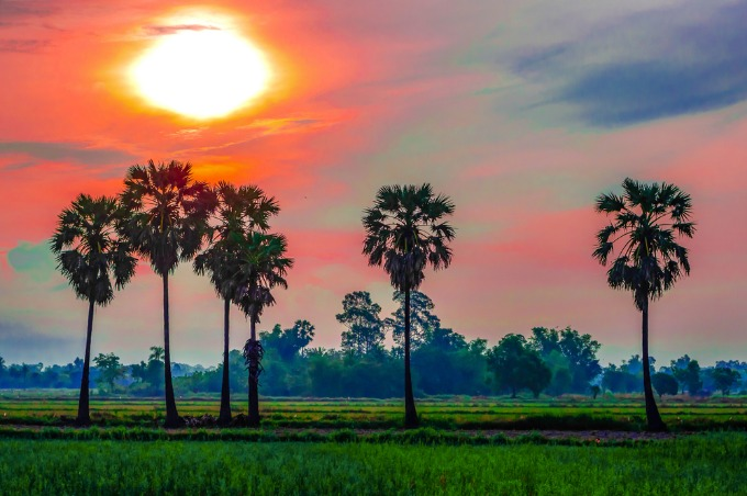 The palm that sweetens life in Mekong Delta province - 4