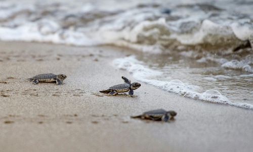 Flippin' hard: Myanmar's sea turtles fight against the odds