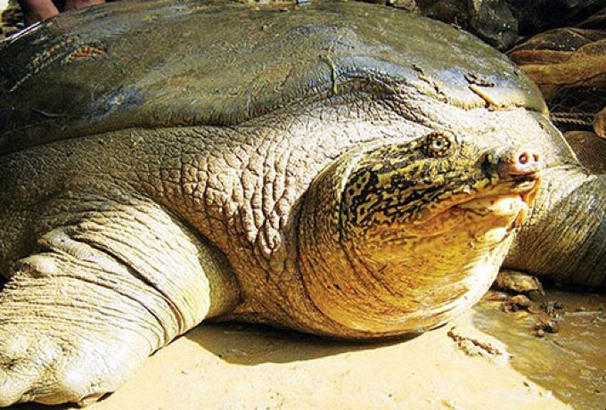 Hanoi to conserve world's rarest lake turtle