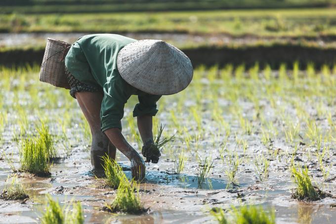 Vietnam, Thailand skip Philippines' 203,000 T rice tender