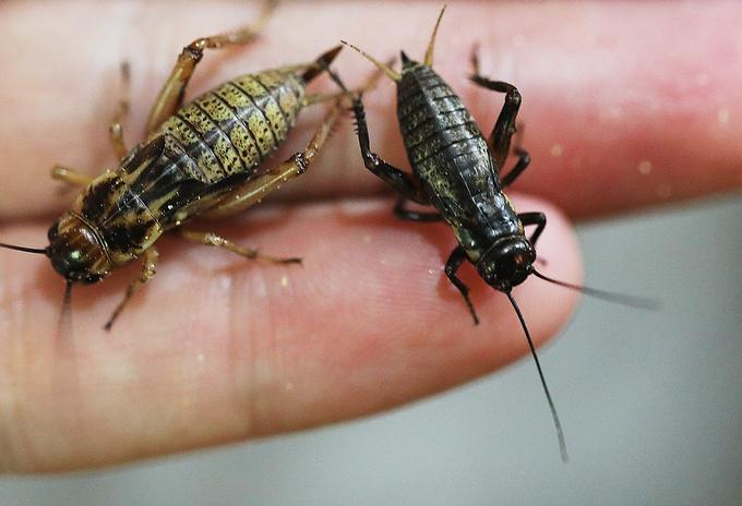 Cricket breeding goes hopping in Hanoi - 3