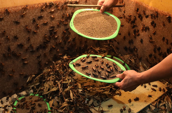 Cricket breeding goes hopping in Hanoi - 6