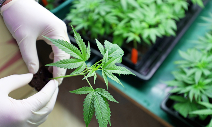 Vietnamese Australian woman faces trial for running cannabis syndicate