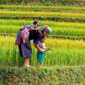 Asia rice: Indian rates up on firmer rupee; Thai harvest to shore up stocks