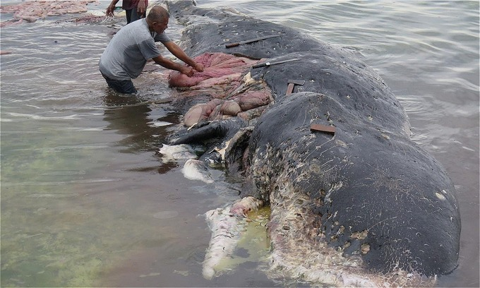 Sperm whale washed up in Indonesia had plastic bottles, bags in stomach