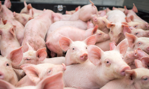 Vietnam steps up measures to prevent African swine fever