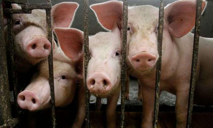Hanoi reports foot-and-mouth disease outbreak in pigs
