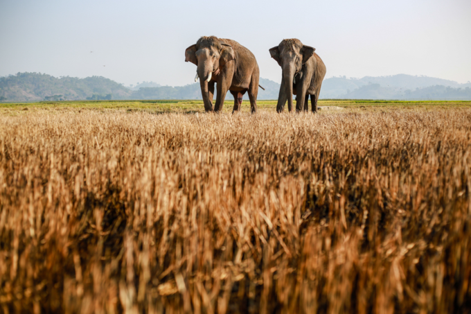 Elephants on the field near Lak lake in Dak Lak province. Photo by VnExpress/Thanh Nguyen