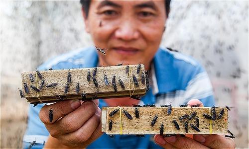 Flies become a cash cow for Mekong Delta farmer