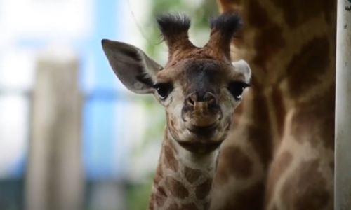 New face in town: baby giraffe born in Saigon zoo
