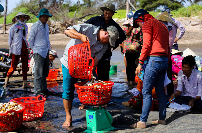 Ben Tre farmers dig up clams for extra cash - 10