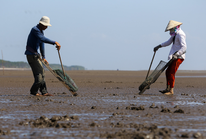 Ben Tre farmers dig up clams for extra cash - 4