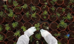 UK jails Vietnamese gang for farming cannabis
