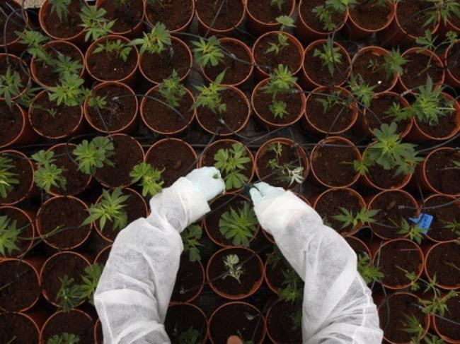 UK jails Vietnamese gang for farming cannabis