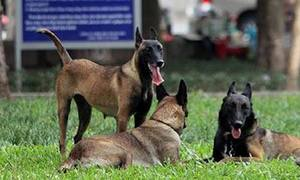 Hanoi considers geo-positioning chips on dogs