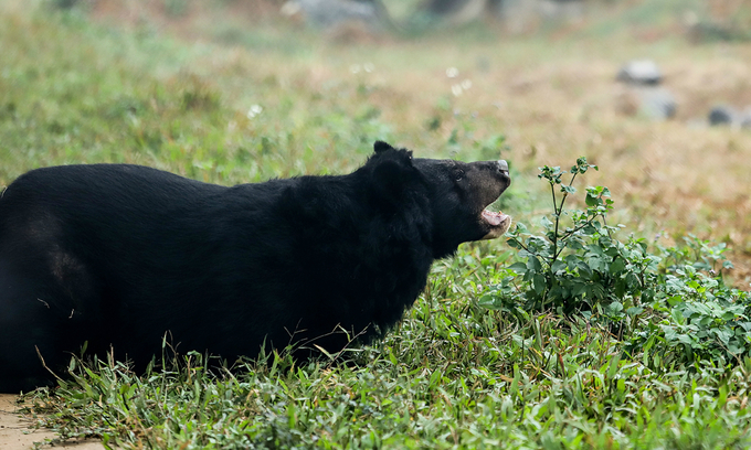 Hai Chan (Two Paws), named because she only has two left, lies among grass at Ninh Binh Bear Rescue Center in northern Vietnam. Photo by Four Paws/Bogdan Baraghin