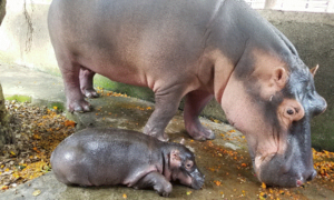 New baby hippo doing well in Dong Nai